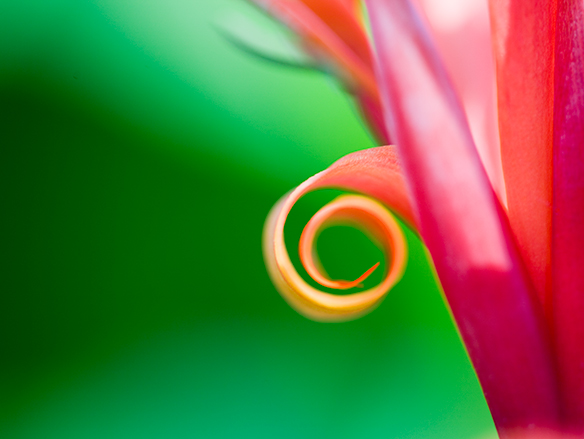 Botanic Curl (caffeine free)
